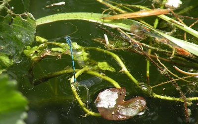 Azure Damselfly laying an egg